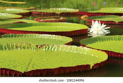 Victoria cruziana aquatic water plant with giant leaves Pantanal Brazil