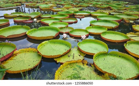 Victoria lotus in the pond.