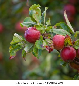 Victoria Plum Tree -  fresh ripe red and pink fruit on the tree, hanging from the healthy branch.