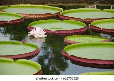 Victoria regia (Victoria amazonica) in lake. Brazil