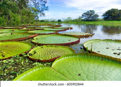 Victoria Regia, the largest lily pad in the world in the Amazon Rain Forest near Iquitos, Peru