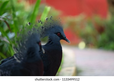 Victorian Crowned Pigeon