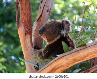 Victorian Koala eating Eucalyptus Leaves, Adelaide, Australia.