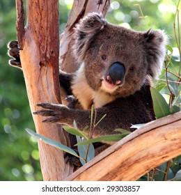 Victorian Koala in a Eucalyptus Tree, Adelaide, Australia