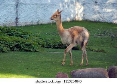 Vicugna animal portrait. Color photo.