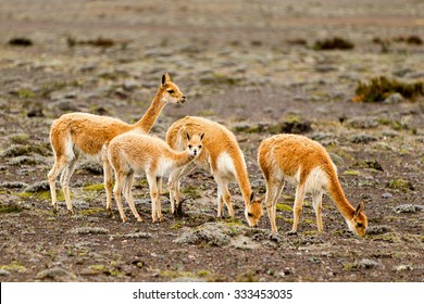 The Vicugna Is One Of Two Wild South American Camelids Which Live In The High Alpine Areas Of The Andes Mountains