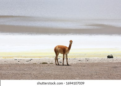Vicuña (Vicugna vicugna) in the Siloli Desert, near the Salar de Uyuni (Uyuni Salt Falt) and the border with Chile, in southwestern Bolivia