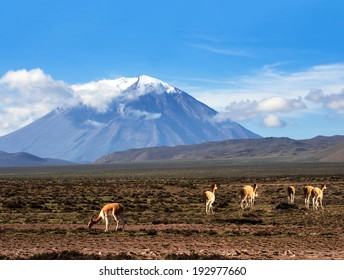 Vicugna is a wild South American camelid, which live in the high alpine areas of the Andes. It is a relative of the llama. Stratovolcano El Misti, Arequipa, Peru