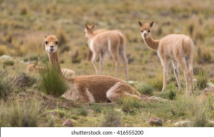 Vicuna in the andes of Peru.