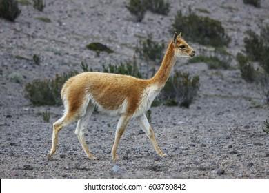Vicuna in arid landscape, Chimborazo Nature Reserve, Ecuador