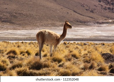 Vicuna in Atacama desert, Chile.