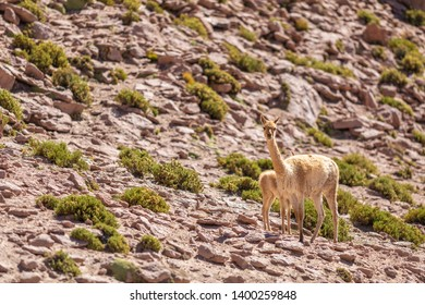 A Vicuna family animal group with a mother and its baby walking along Andean Altiplano slopes inside Atacama Desert. An awe wildlife scenery with the Vicunas silhouette on a steep rocky mountain