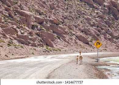 A Vicuna family animal group with a mother and its baby crossing a dirt road at Andean Altiplano inside Atacama Desert. High risk of run  over while driving on this wild environment. Awe wildlife