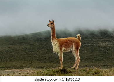 A vicuna looks at the horizon in the moor in front of a mountain, while the fog goes down