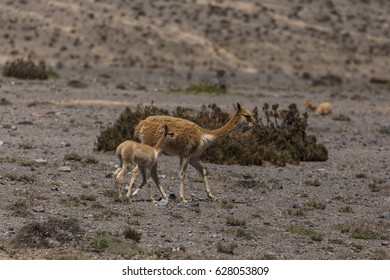 Vicuna mother with child isolated on a plateau in the Andes mountains in Ecuador