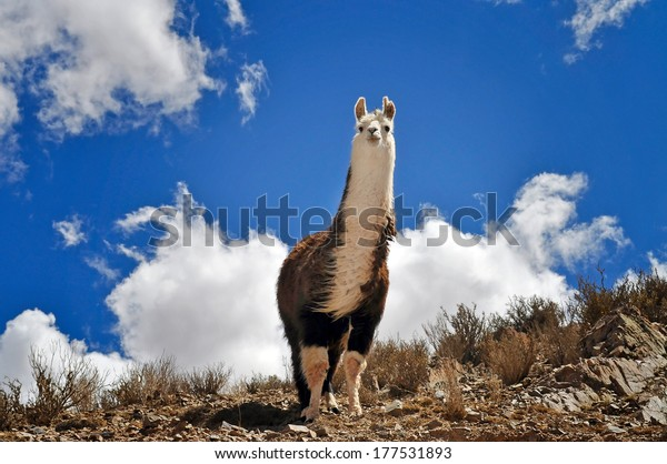 Vicuna on Andes in Salta Province. Argentina