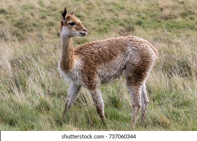 Vicuna in Patagonia in southern Chile. The vicuna is a wild relative of the llama, inhabiting mountainous regions of South America. Vicunas produce small amounts of extremely fine wool.