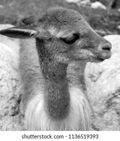 The vicuna (Vicugna vicugna) or vicuna is one of the two wild South American camelids which live in the high alpine areas of the Andes, the other being the guanaco.