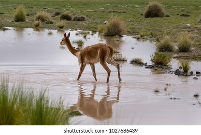 Vicuna walking on the flooded fields in Bolivia. Heavy rains caused flooding of many Bolivian areas