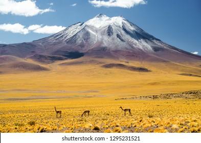 Vicunas in Atacama
