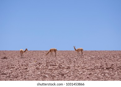 Vicunas in Atacama desert in Chile