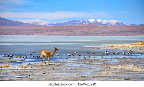 Vicunas and birds grazing on the shores of Laguna Salada, Reserve Eduardo Avaroa, Potosi, Bolivia