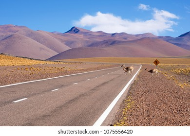 Vicunas or Vicuñas Crossing the six thousand peaks road, San Francisco Pass. The pass connects the Argentinian province of Catamarca with the Atacama Region in Chile