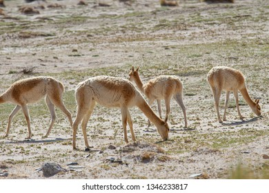 Vicunas eating grass