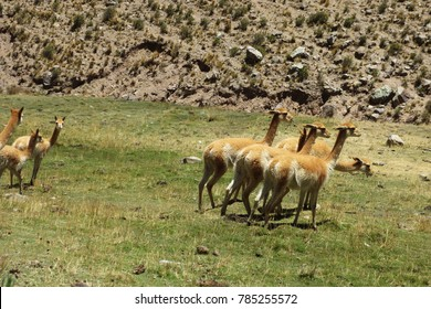 Vicunas in freedom
