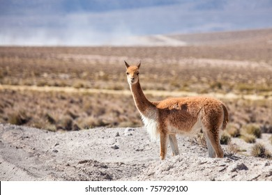 Vicunas are generally living as a herd but it is not unusual to encounter a single individual not to far from the main group