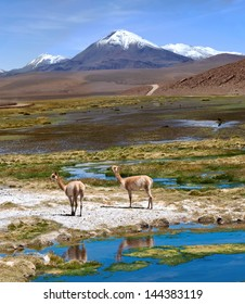 Vicunas graze in the Atacama, Volcanoes Licancabur and Juriques. The photo was taken on the road through the Andes near Paso Jama, Chile-Argentina-Bolivia