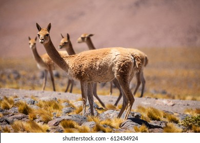 Vicunas in the high Altiplano of the Andes, between Chile and Argentina