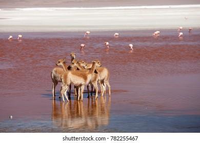 Vicunas at Laguna Colorada, Bolivia