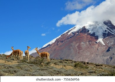Vicunas, wild relatives of llamas, grazing at Chimborazo volcano high planes, Ecuador, South America