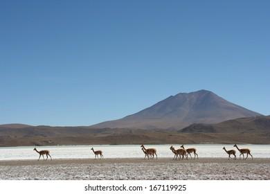 Vicunas/Alpacas at Atacama Desert in the Andes