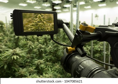 Video Camera Filming Cannabis Plants Under Grow Lights Indoor Greenhouse For Dispensary