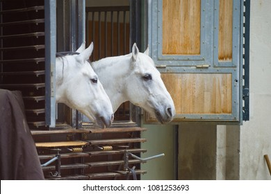 VIENNA, AUSTRIA - APRIL 26, 2018: Two white horses peeking out of the stables. Spanish Riding School in Vienna