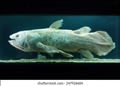 VIENNA, AUSTRIA - NOVEMBER 27, 2014: Coelacanth (Latimeria chalumnae) exhibited in the Natural History Museum (Naturhistorisches Museum) in Vienna, Austria.