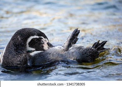 Vienna, Austria - September 10 2013: Otter swimming on the back