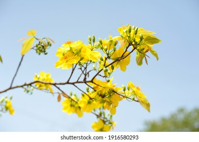 Viet nam yello bloosom flower on blue sky for srping times, viet nam lunar new year flower