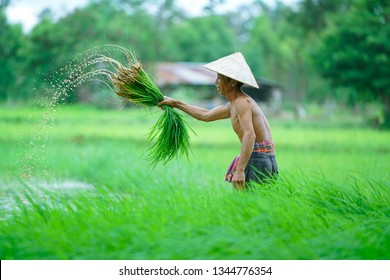 vietnam famer,a man farmer transplant rice seedlings in rice field,Farmer planting rice in the rainy season,farmer in paddy field,vietnam,