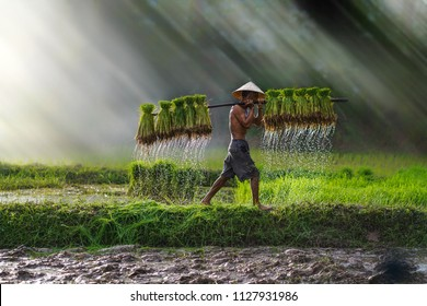 Vietnam farmer Bearing seedlings of rice to plant, Asian farmer Bearing rice seedlings on the back before the grown in paddy field,