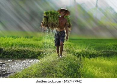 Vietnam farmer Bearing seedlings of rice to plant, Asian farmer Bearing rice seedlings on the back before the grown in paddy field,Vietnam,