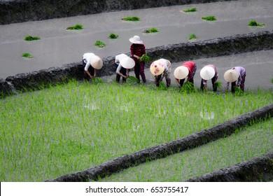 Vietnam - May 2017 : farmers in terrace paddy field