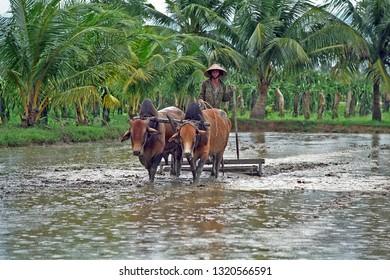 VIETNAM, MUI NE – JANUARY 15, 2001: boy ploughs field of rice. Very typical scene in Vietnam.