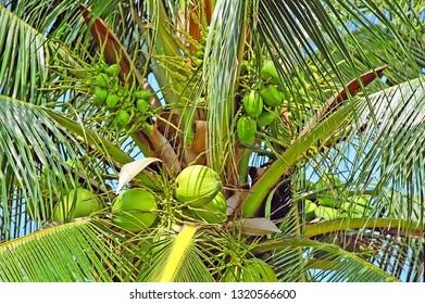 Vietnam, Mui Ne, tropical coconuts.