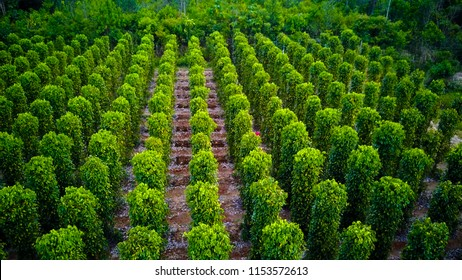 Vietnam. Phu Quoc Island. The garden is famous pepper. Pepper plantations of different varieties are found in many places of the island. Vietnamese pepper is exported to many countries of the World.
