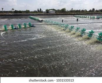 Vietnamese aquacuture systems: intensive tiger shrimp culture