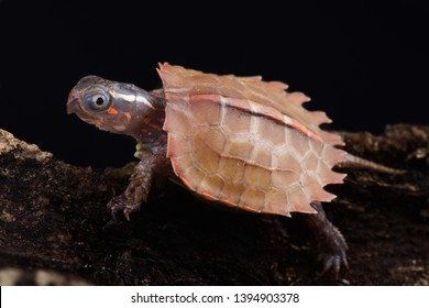 Vietnamese Black-breasted Leaf Turtle (Geoemyda spengleri)