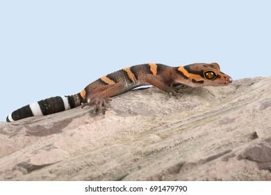Vietnamese Cave Gecko basking on smooth rock/Gecko/ Helmeted Gecko (Goniurosaurus araneus)